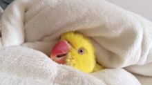 Snuggling parrot has hard time getting out of cozy bed