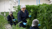 Cannabis shortage improving 'sooner than we had anticipated': BMO