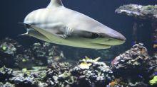 Brasileiro come tubarão sem saber e é um dos maiores responsáveis por extinção