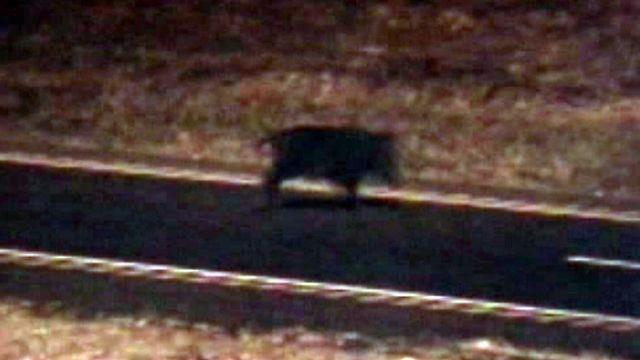 Wild pigs wrecking havoc on Texas speed highway