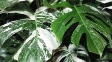 Variegated leaves: the next big houseplant trend