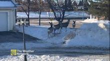 Some woodland friends take a shortcut through neighbourhood