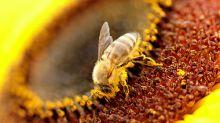 El polen de abeja mejoraría tu piel, ¿cierto o falso?