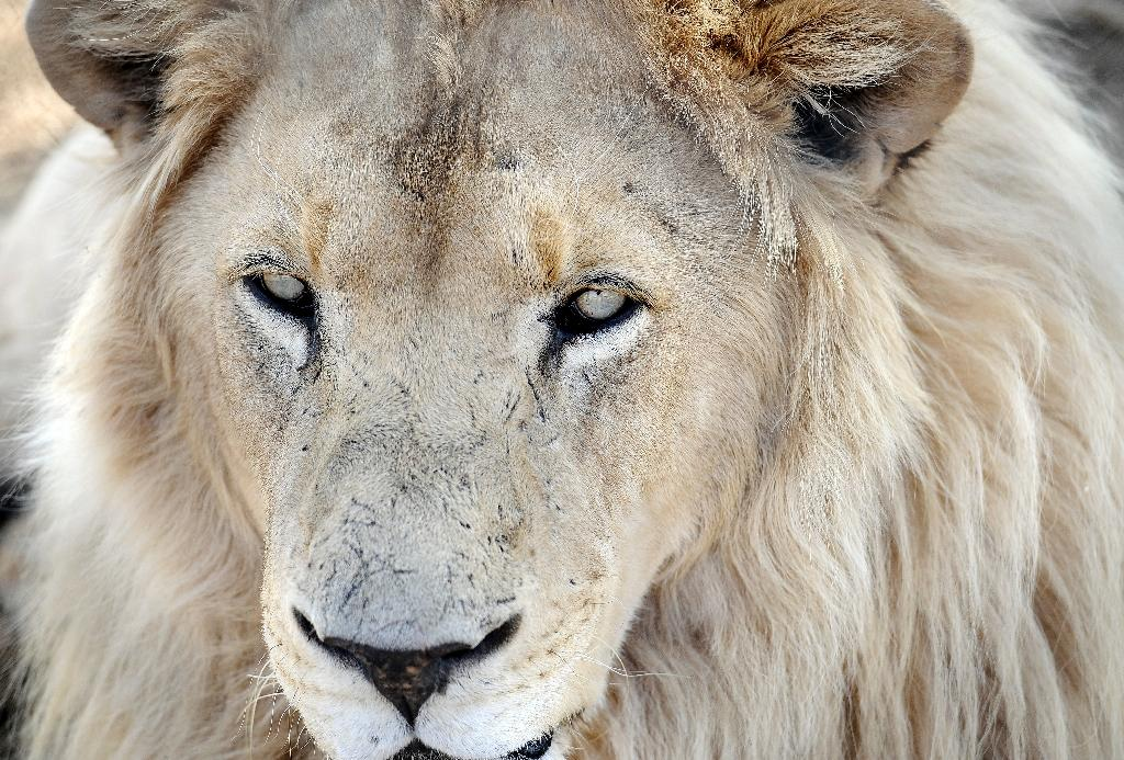 A lion bred for commercial use is pictured on August 3, 2012 at Bona Bona Game Farm in Wolmaransstad, 200 kms southeast of Johannesburg