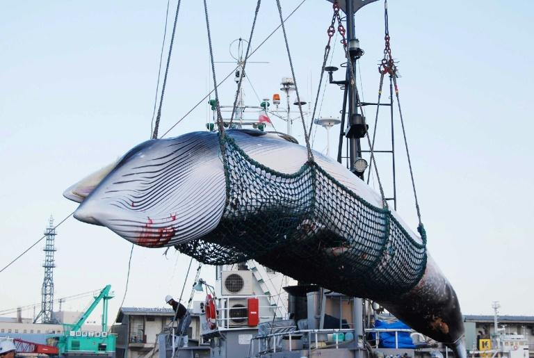 Japan resumes commercial whaling researchers on how the world should respond