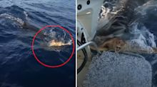 'Craziest thing I've seen': Shocking video shows shark trying to eat turtle