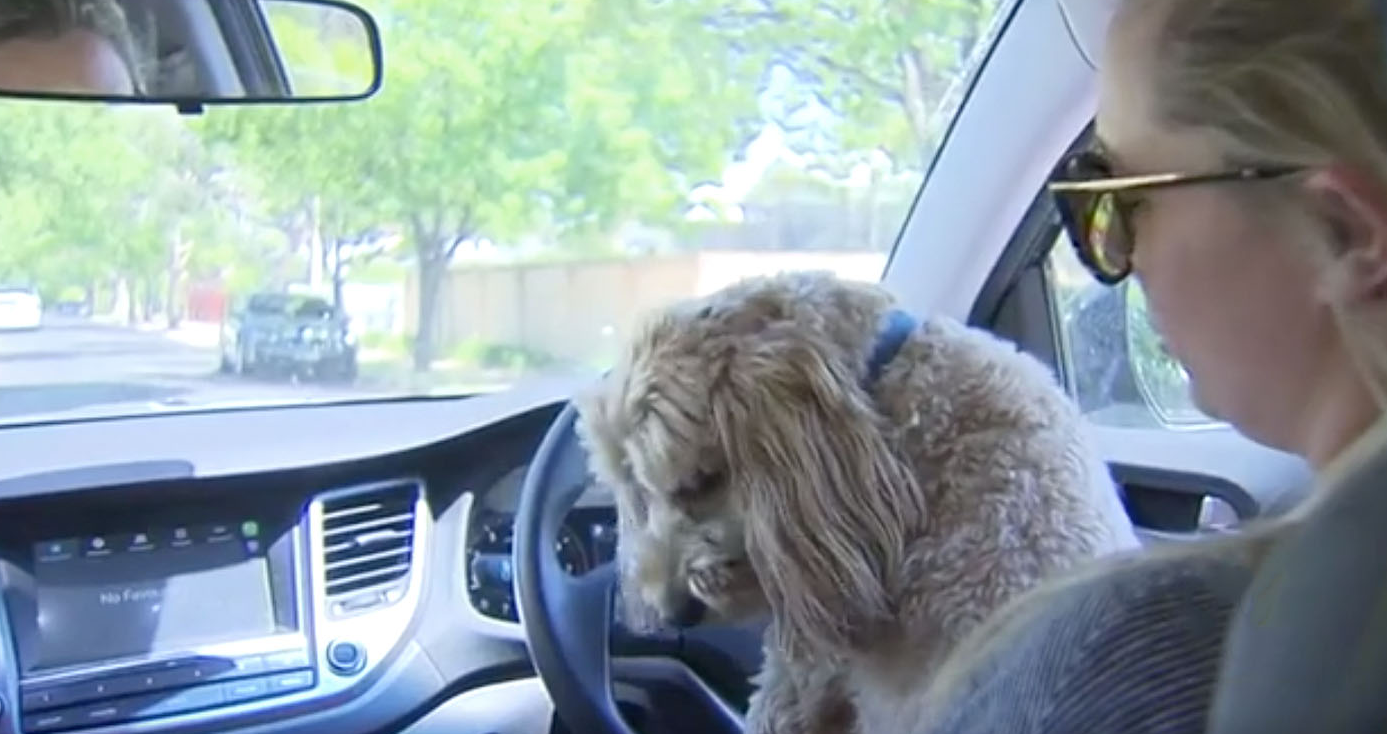 Hefty fines owners can cop if caught driving with pets on lap