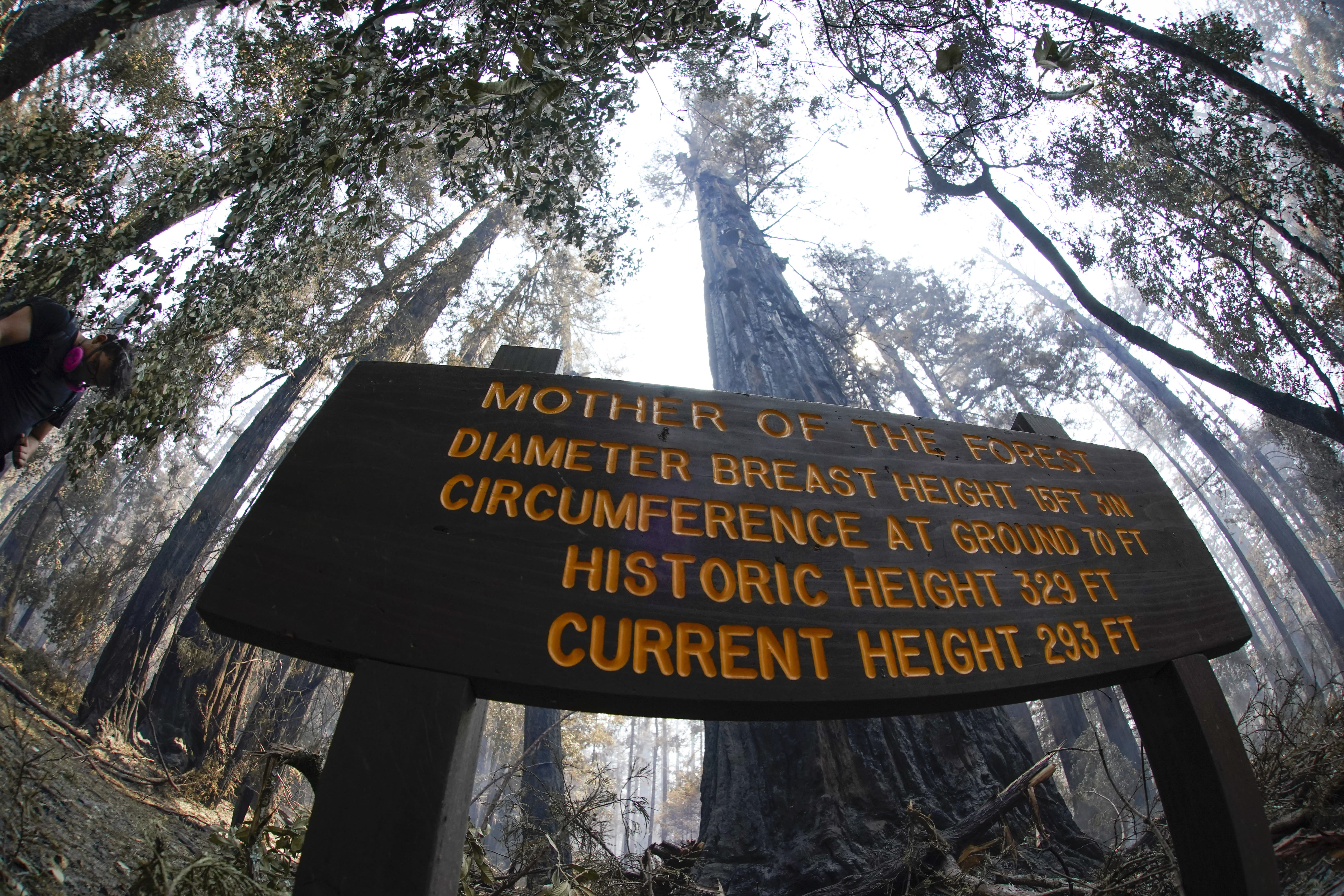 """An old-growth redwood tree named """"Mother of the Forest"""" is still standing in Big Basin Redwoods State Park, Calif., Monday, Aug. 24, 2020. The CZU Lightning Complex wildfire tore through the park but most of the redwoods, some as old as 2,000 years, were still standing. (AP Photo/Marcio Jose Sanchez)"""