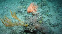New Populations of Deep-Sea Corals Discovered Near Scotland