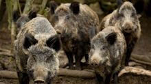 US officials warn of danger of feral hogs heading across the border from Canada