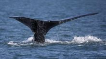 DFO searching for entangled North Atlantic right whale spotted off N.B. coast