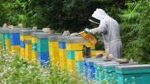"""""""Les abeilles ne récoltent rien !"""" : les apiculteurs annoncent une année catastrophique pour le miel français"""