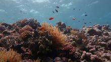 Studie: Great Barrier Reef verlor binnen 25 Jahren die Hälfte seiner Korallen