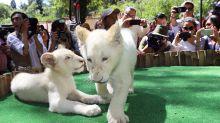 Zoológico de Tlaxcala tienen nuevos leones blancos