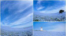 【開花嘞】日本茨城超靚藍花海 攝影師相集Twitter熱傳
