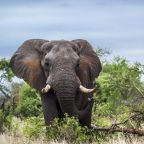 Big-Game Hunter Trampled To Death By Elephant He Tried To Shoot