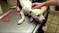 Seriously Injured Pit Bull Puppy's Legs To Be Amputated