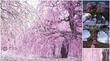 【勁似櫻花】日本超靚梅花園 遍地花開Twitter熱傳