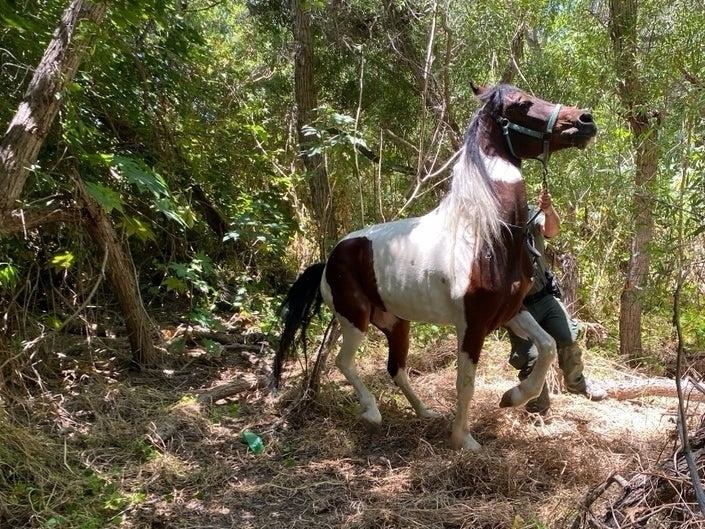 It took multiple agents to calm the horse and lead him out of the thick brush, authorities said.