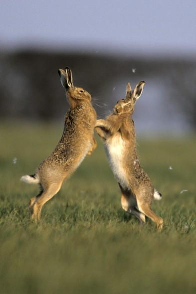 """<p> <span style=""""font-size:10pt;"""">""""One of the great signs of the arrival of spring is the so-called 'mad March hare' – as these usually shy and reclusive creatures can be spotted 'boxing' in open fields throughout the mating season.""""</span></p> <p class=""""p1""""> <strong>Top hare viewing spot:</strong>LymePark, Cheshire.The open spaces here are perfect hare-spotting territory during early spring. Head up to The Cage, an atmospheric hill-top hunting lodge, for great views across the park's vast acres.</p> <p class=""""p1""""> <strong>Other good spots for hare spotting include</strong>:</p> <p class=""""p1""""> Wimpole Estate, Cambridgeshire;Mountain hare can be found on the Dark Peak Moors, Derbyshire</p> <p class=""""p1""""> Irish hare can be seen on Divis Mountain, Belfast.</p>"""