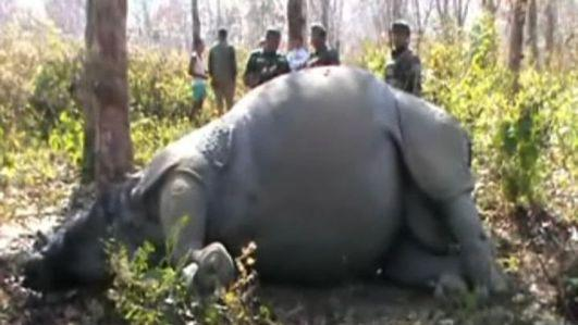 "Rhinos ""one horned scapegoats"" in Assam"