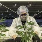 Aurora Cannabis stock plunges amid more large losses, stock-sale plans and cost cuts