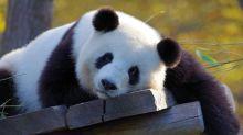 Pourquoi la Chine prête-t-elle ses pandas?