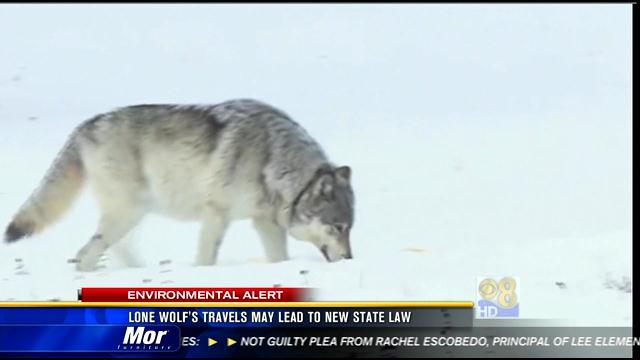 Lone wolf's travels may lead to new state law