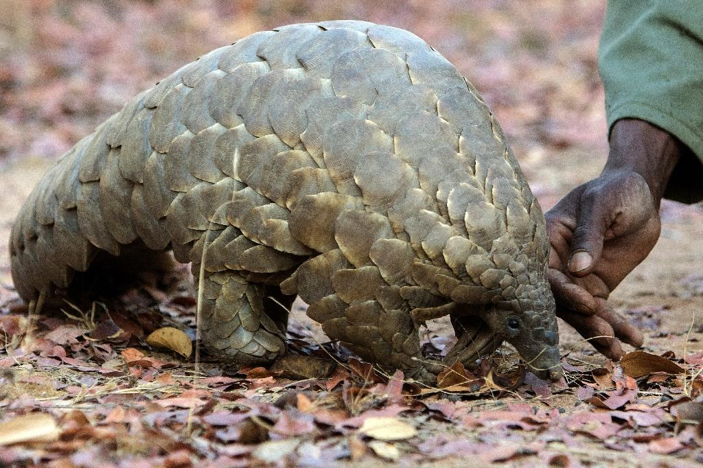 Pangolin scales are widely used in traditional Chinese medicine (AFP Photo/Jekesai Njikizana)