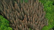 Menge des durch Insektenbefall verursachten Schadholzes fast versechsfacht