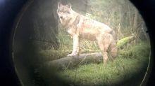 Abschuss von angriffslustigen Wölfen soll leichter werden