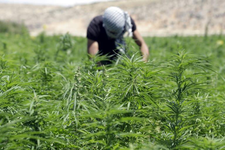 Lebanon is a major producer of cannabis (AFP Photo/JOSEPH EID)