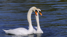 Volunteers patrol London parks after six swans found 'stabbed and beheaded'