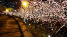 賞櫻好去處!樂活夜櫻季夜景也好美
