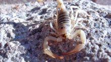 Escorpiões passam a matar mais que cobras no Brasil