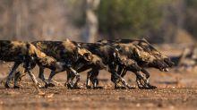 Estos perros salvajes en África votan democráticamente ¡mediante estornudos!