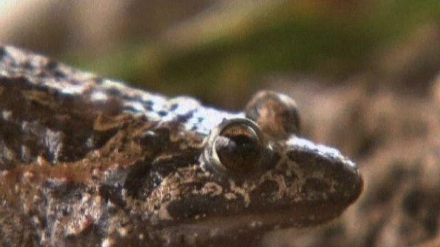 Frog Species Returns From Extinction