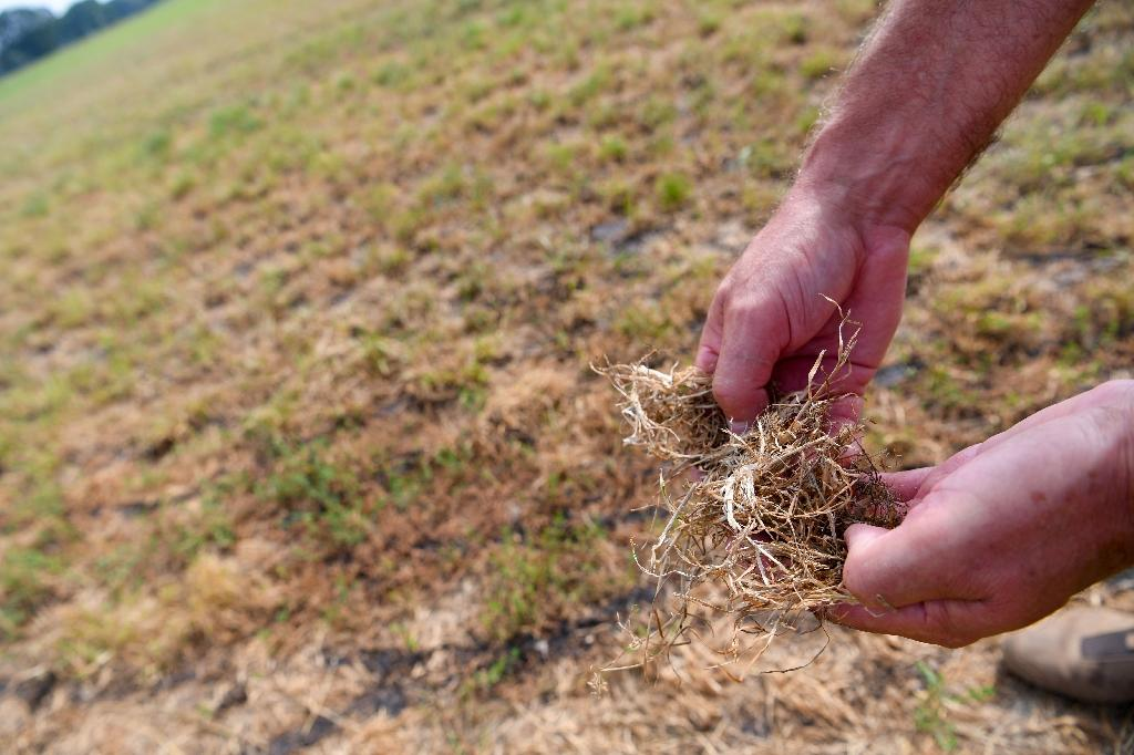 Farmer Christian Sancken shows dried grass in his drought-affected field in Cuxhaven, northern Germany, last month (AFP Photo/Patrik STOLLARZ)