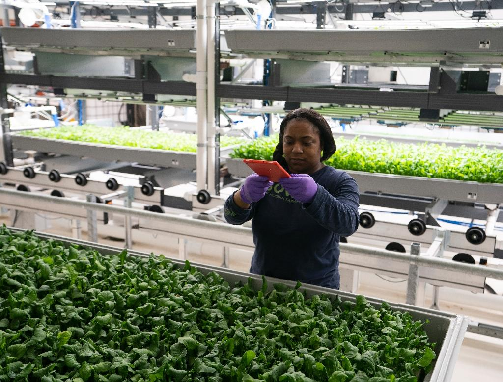 A Bowery Farming employee inspects some of their greens grown at the hydroponic farming company in Kearny, New Jersey (AFP Photo/Don EMMERT)