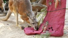 Jumping bail: US cops round up fugitive kangaroo