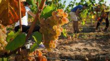 Viticulture: Castex annonce 80 millions d'euros d'aides supplémentaires