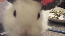 Essa coelhinha nasceu sem as orelhas e ganhou uma prótese de lã