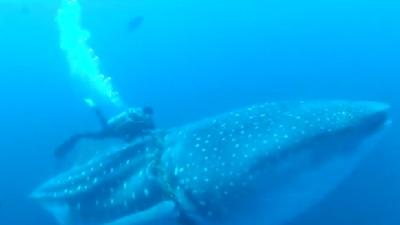 Divers Save Whale Shark