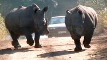 Rhinos charge at car during safari park journey