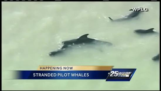 Wildlife officials work to rescue stranded pilot whales