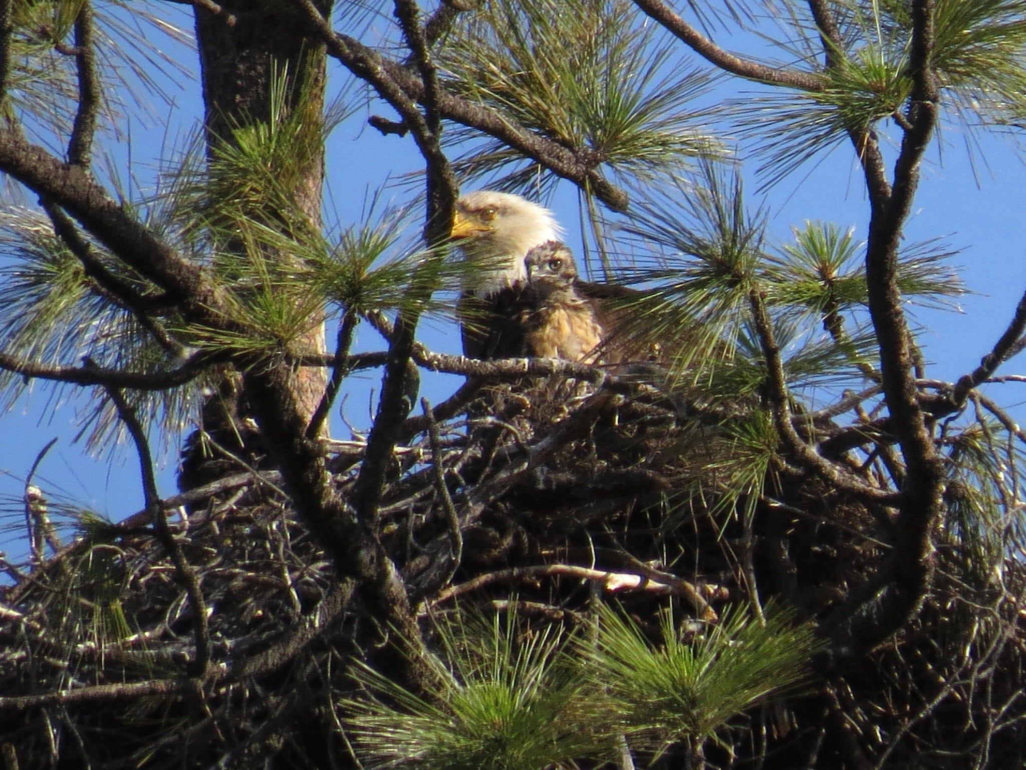 'You don't go and raise your dinner': California eagles defy odds by taking in baby hawk