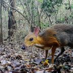 Silver-backed chevrotain, last seen in wild more than 25 years ago, rediscovered in Vietnam