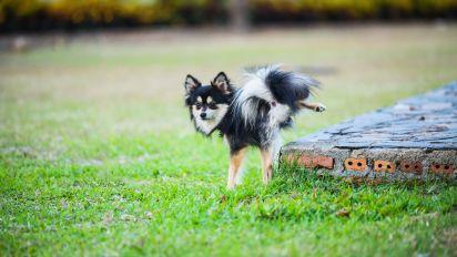 Los perros de raza pequeña estarían 'mintiendo' cuando orinan marcando territorio