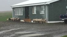Wild sheep in Iceland take shelter from intense hail storm
