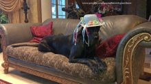 Hilarious attempts to get Great Danes dressed for Easter photo
